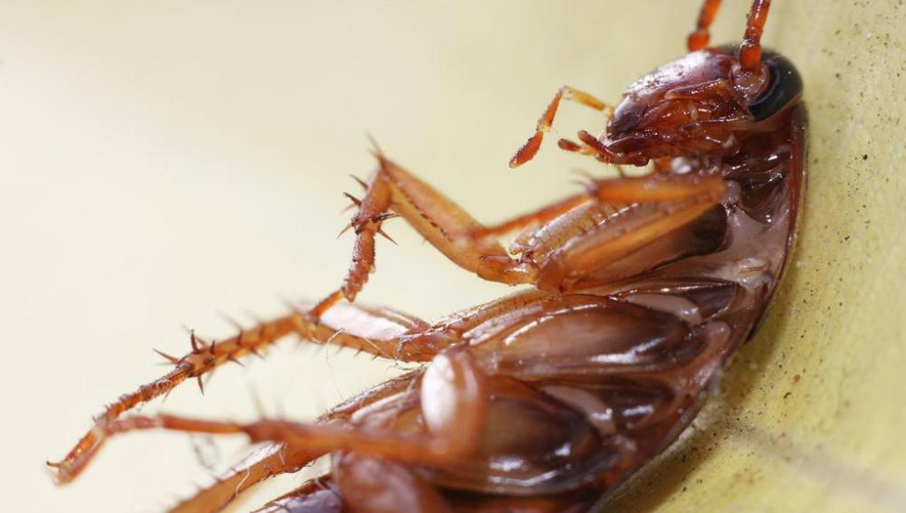 Fotografía de una cucaracha