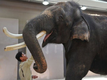 Koshik, el elefante que imita la voz humana y habla en coreano