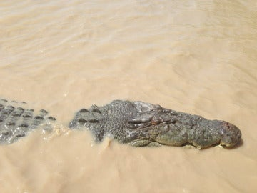 Cocodrilo en aguas australianas