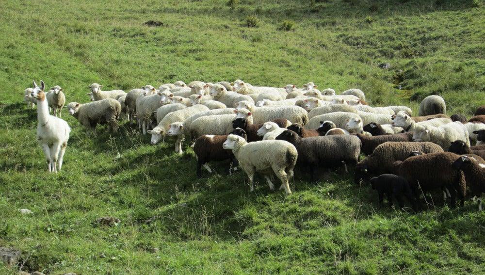 Una llama cuida el rebaño de ovejas
