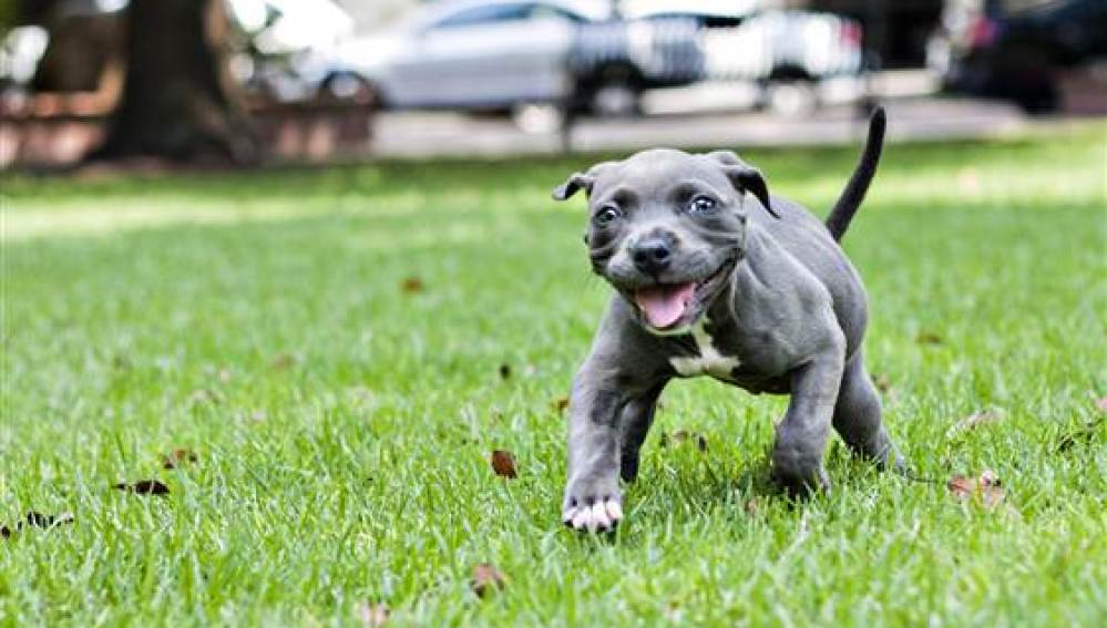 Harper, el cachorro pit bull que superó a la muerte