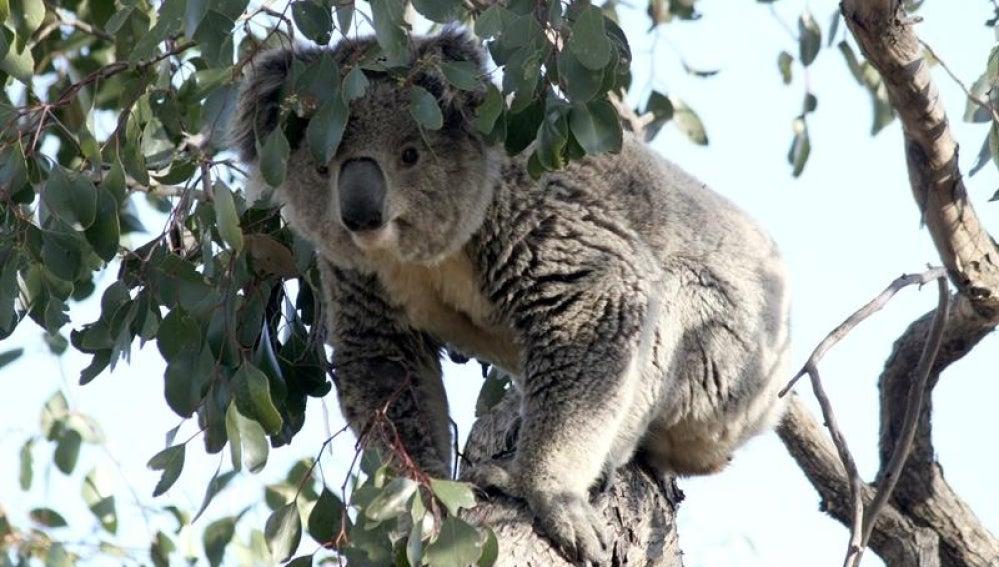 Koala de mudanza (03-10-2013)