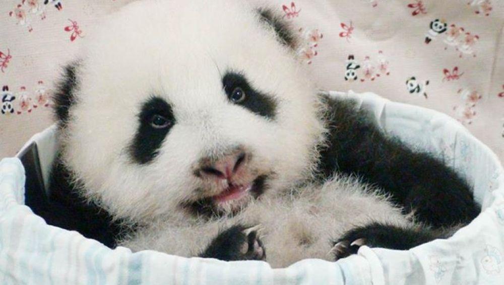 Yuan Zai, un cachorro de panda gigante que triunfa en el zoo de Taipei