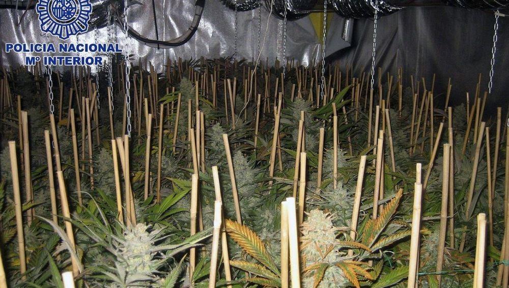 Desmantelan uno de los mayores invernaderos de marihuana en Valencia