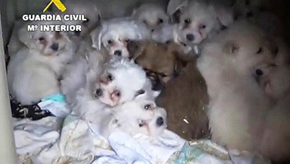 Intervienen más de cien cachorros de perros introducidos de forma ilegal en España