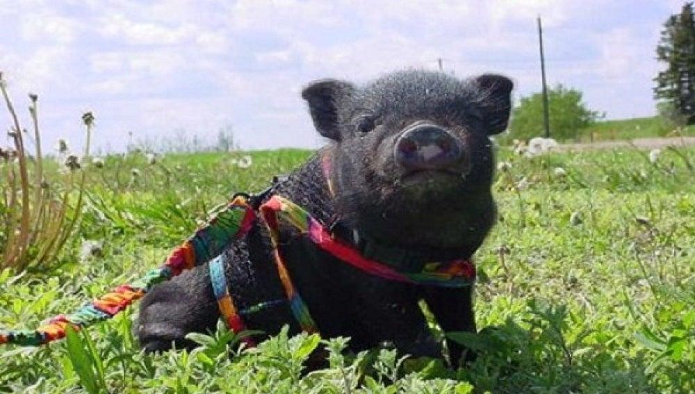 Resultado de imagen de Cerdo vietnamita