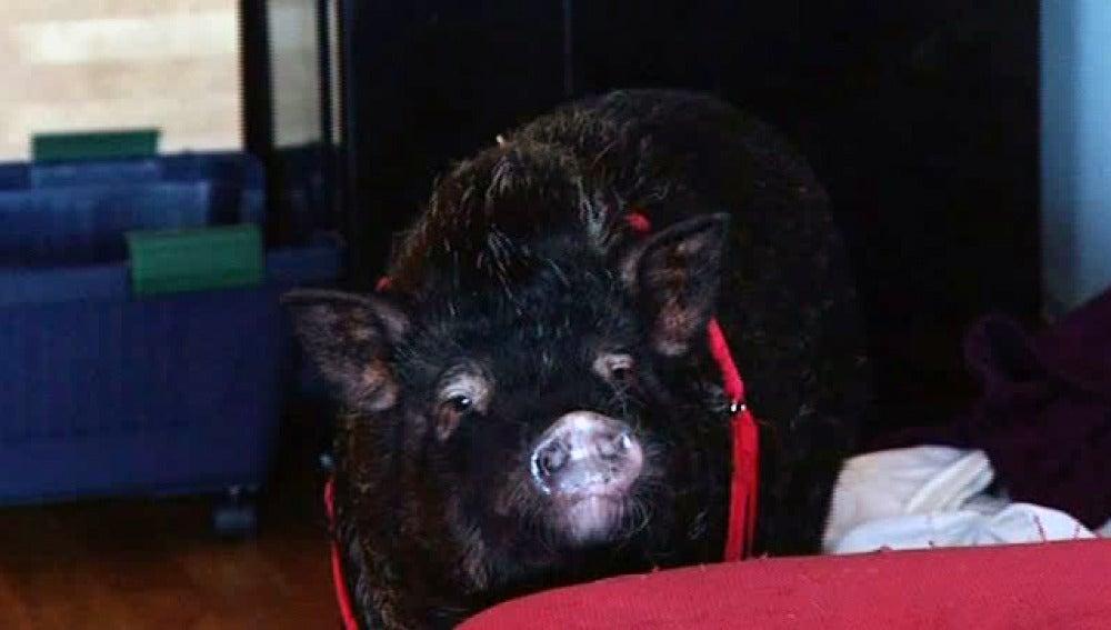 Un cerdo vietnamita