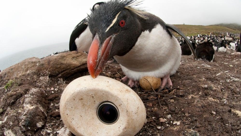 El ave caracara estriado, en su intento de coger la 'egg camera'