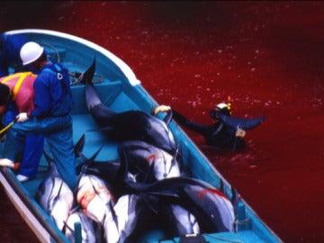 Matanza de delfines en Taiji (Japón)