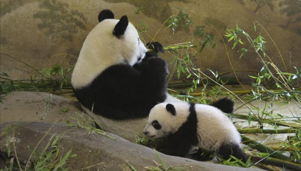 Xing Bao, el pequeño oso panda del Zoológico Aquarium de Madrid