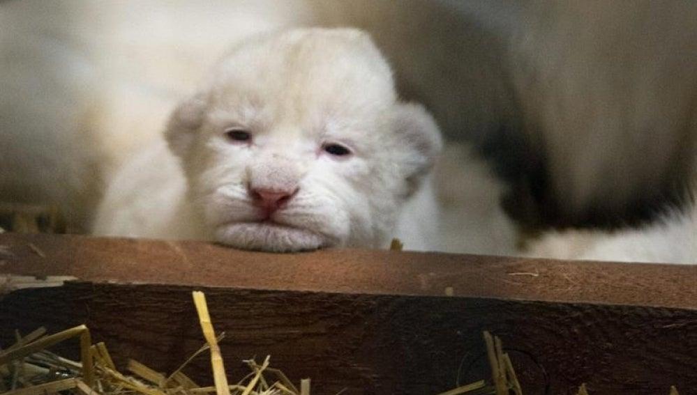 Nacen tres leones blancos en Polonia