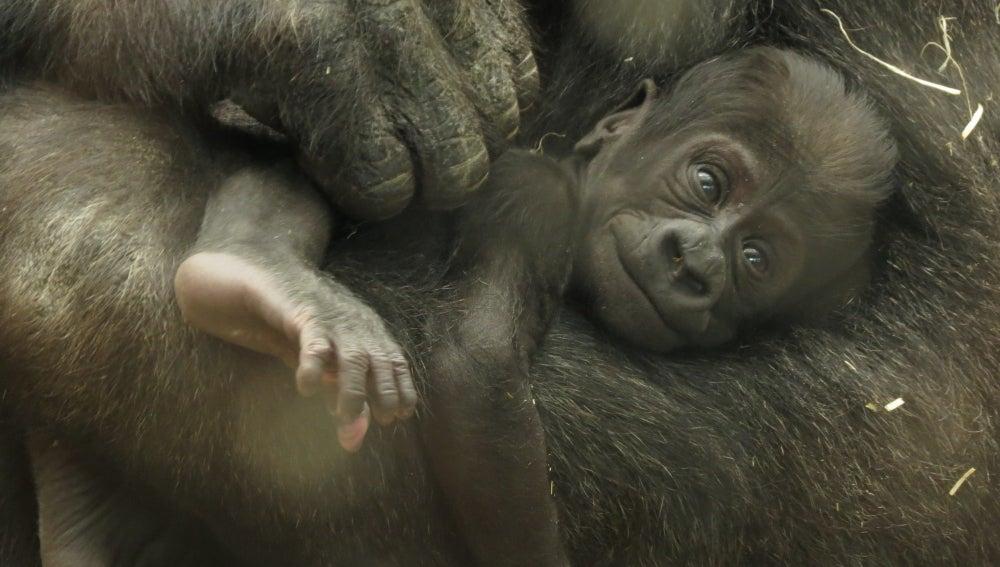 Buscan nombre al bebé gorila del zoo de Madrid