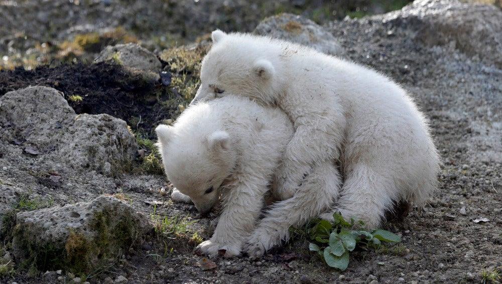 El zoo de Munich bautiza a sus dos cachorros de oso polar como Nela y Nobby