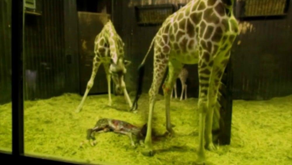 Nace una nueva jirafa en el zoo de Madrid