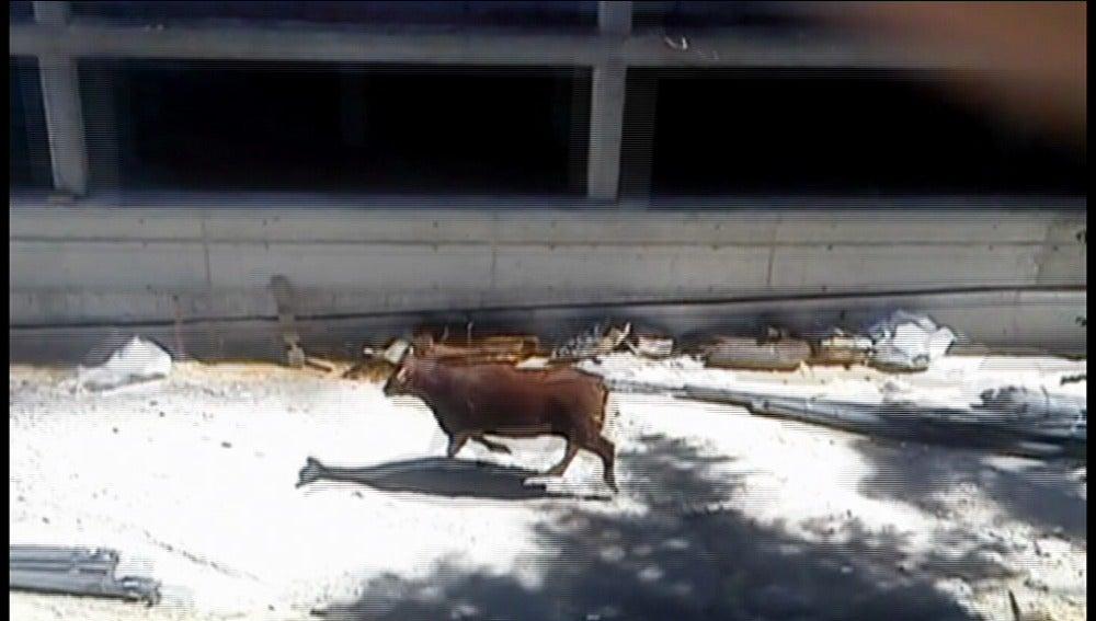 Un toro desata el pánico en las calles de Coslada