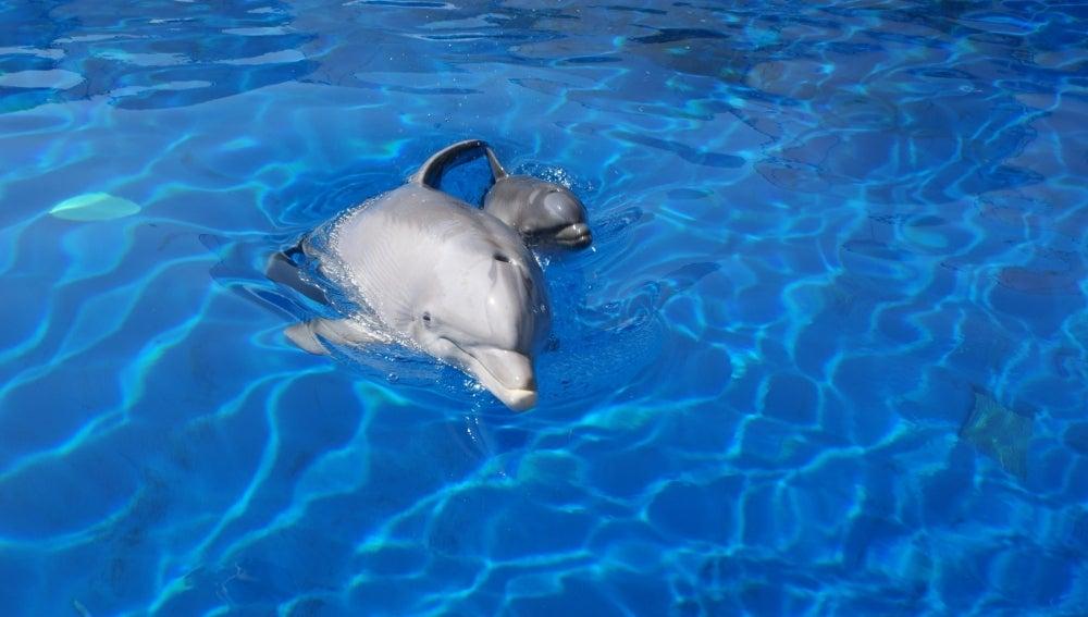 Nace una cría de delfín en el zoo de Madrid