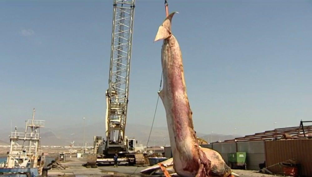 Retiran una enorme ballena en las costas de Gran Canaria