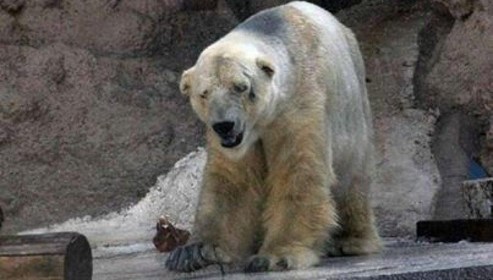 Oso polar Arturo