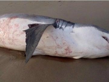 Así se encontraron las autoridades al gran tiburón blanco