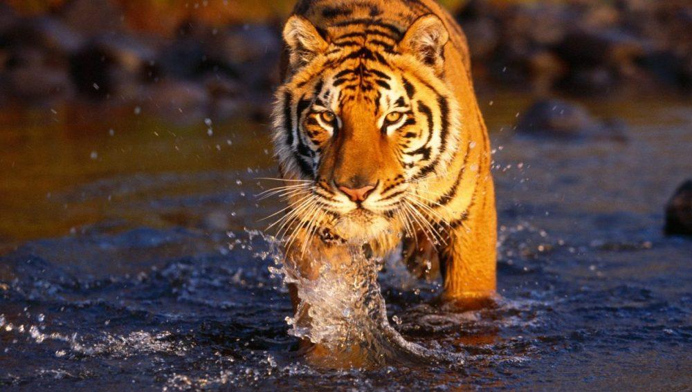La extinción silenciosa de la población del tigre salvaje