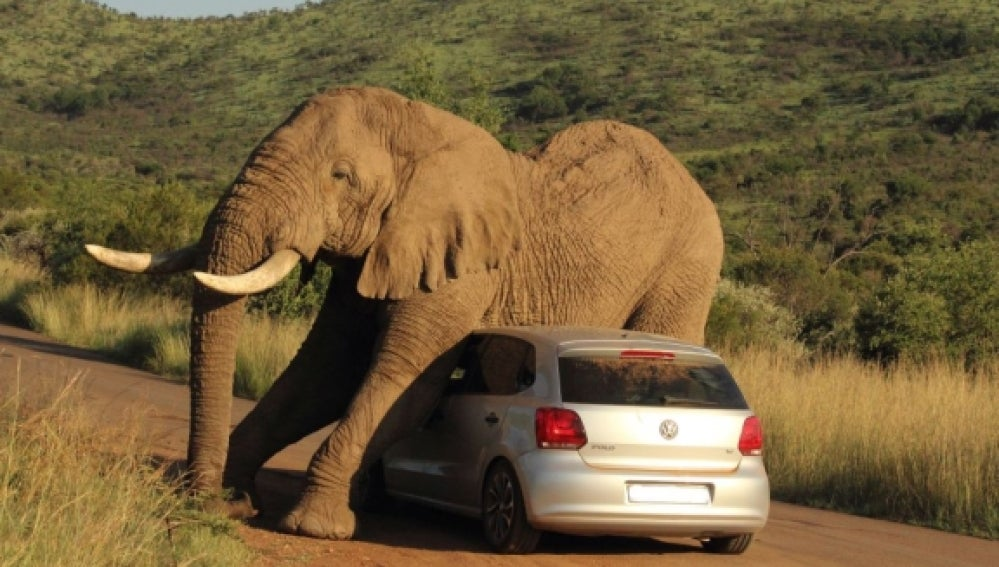 Elefante rascándose con un coche