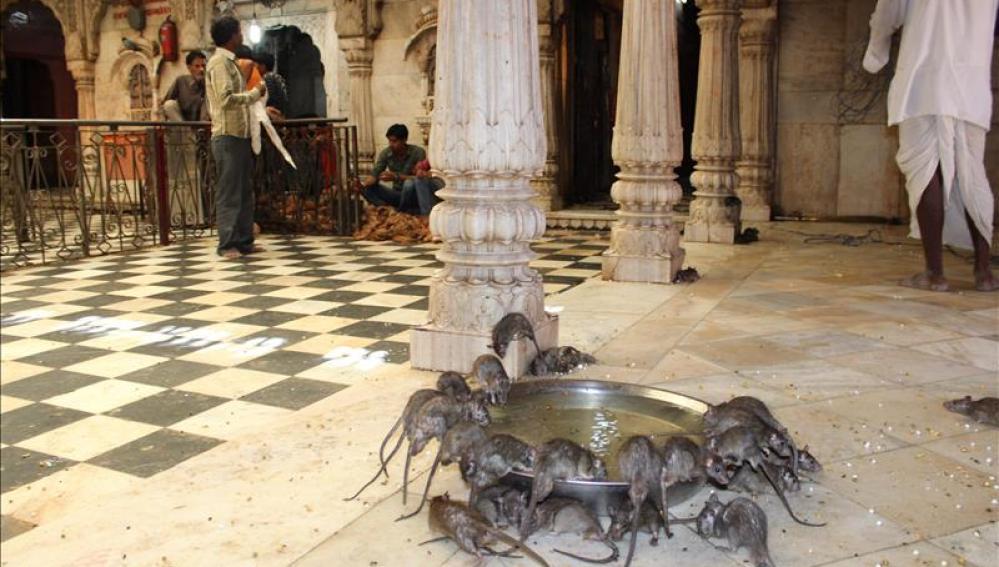 El templo de las ratas | Karni Mata