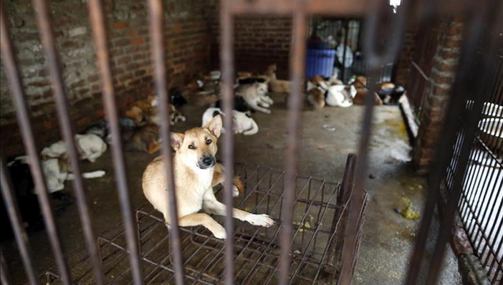 Vietnam sacrifican cada año al menos a cinco millones de perros para comérselos