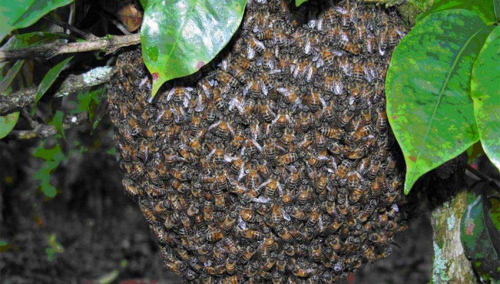 Enjambre de abejas africanas.