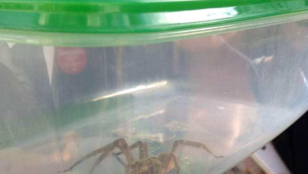 La araña más venenosa del mundo, capturada