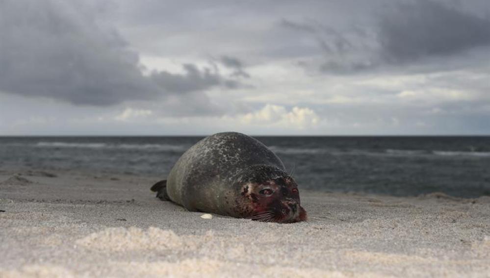 Una foca yace en la playa de Hoernum, Alemania