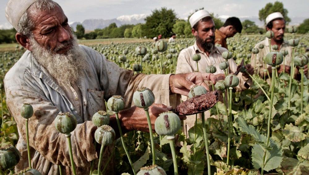 Campos de opio