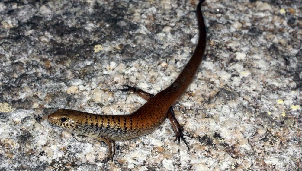 Glaphyromorphus othelarrn, una de las nuevas especies de lagartijas