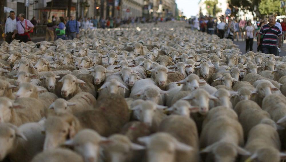 Miles de ovejas toman la capital