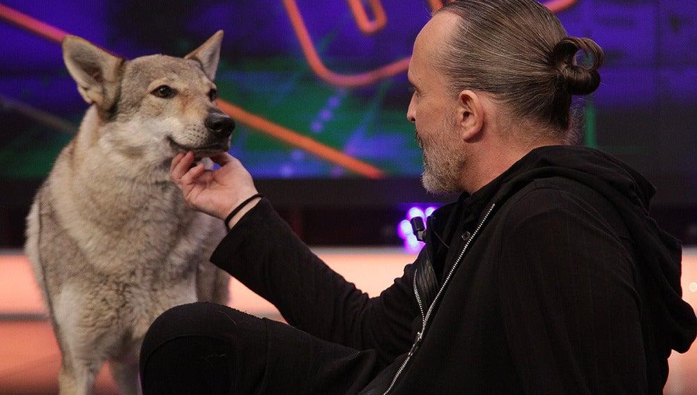 Miguel Bosé con los lobos en El Hormiguero 3.0