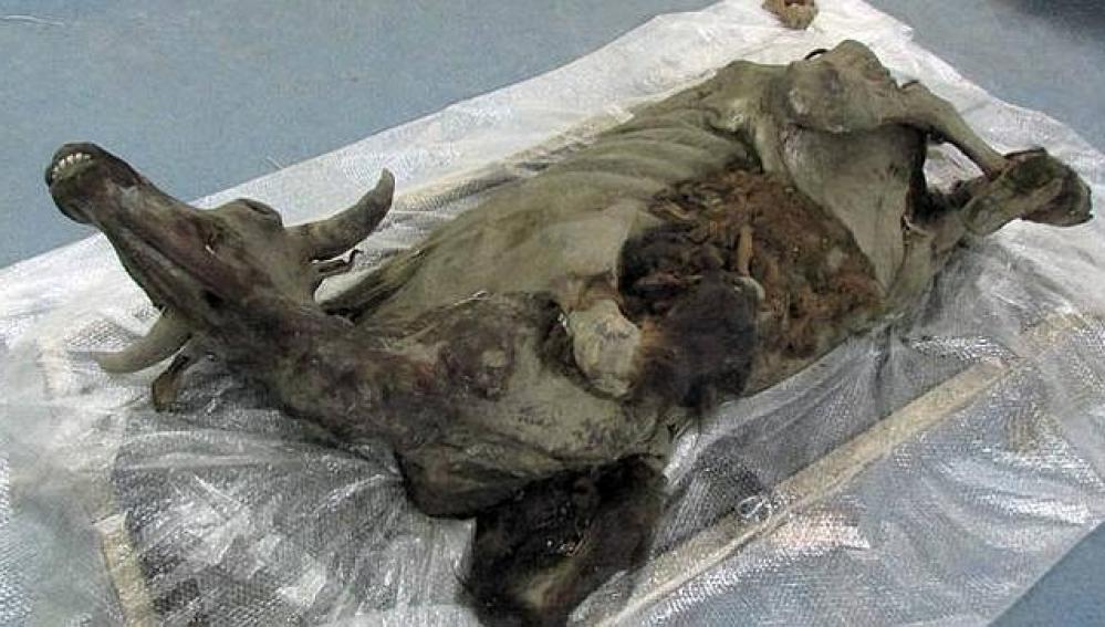 Momia de bisonte hallada en Siberia.