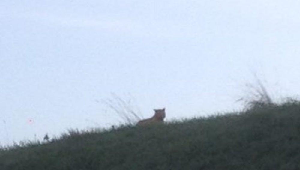 Tigre en las proximidades de Disneyland