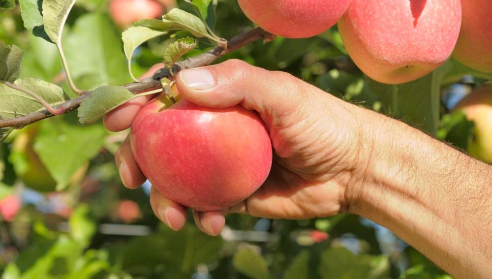 Cada manzana Pink Lady se coge cuidadosamente del árbol.