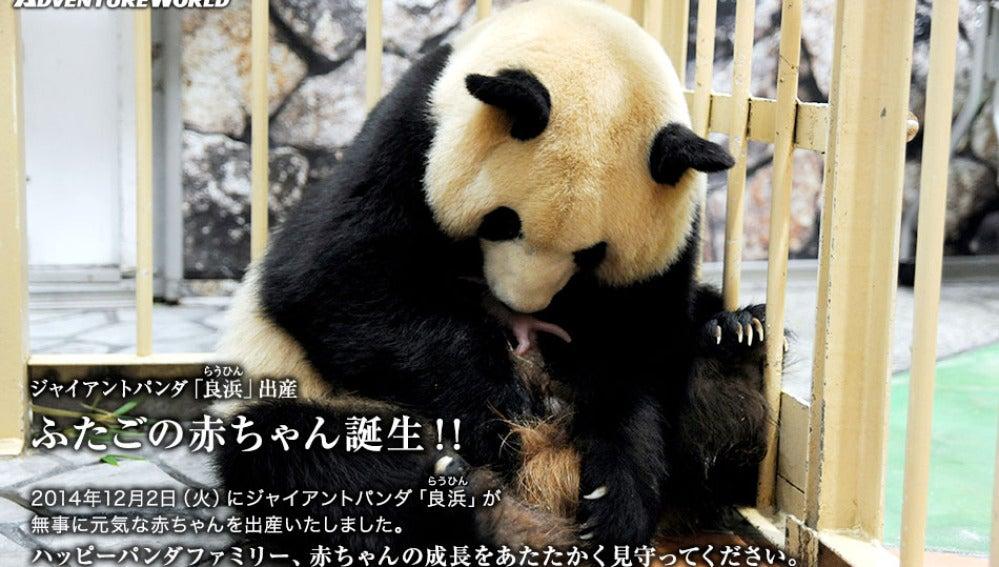 La Oso Panda con sus dos gemelas recién nacidas