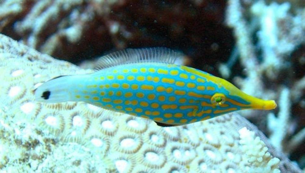 El filefish arlequín
