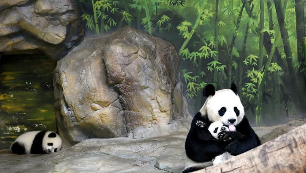Juxiao, una panda gigante de 12 años, abraza a uno de sus trillizos.