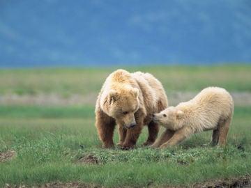 Un oso grizzly, con su madre