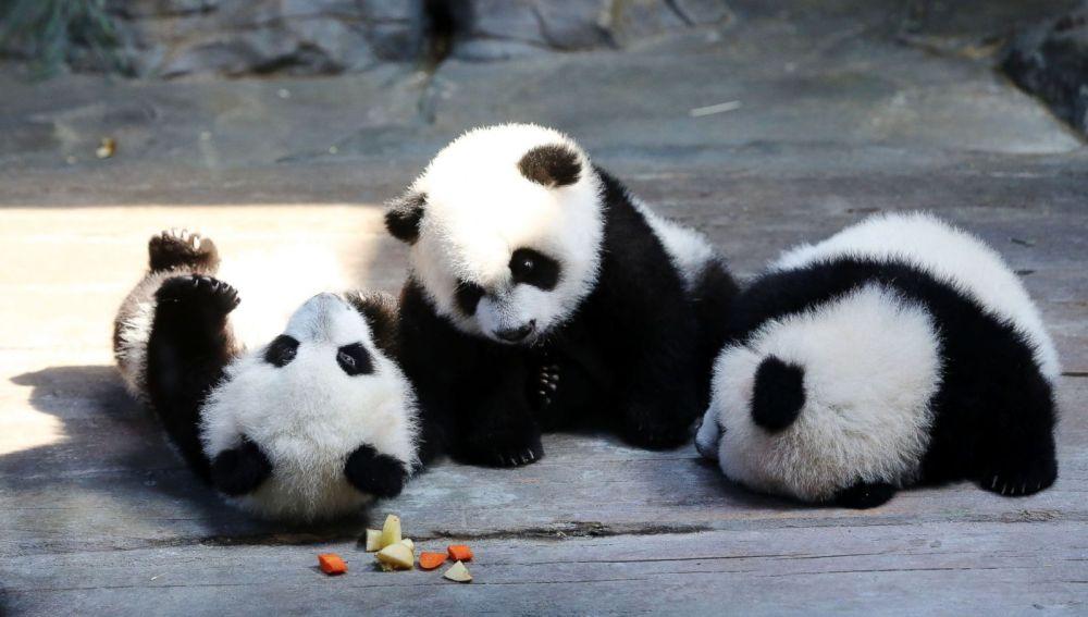 Los tres osos panda trillizos