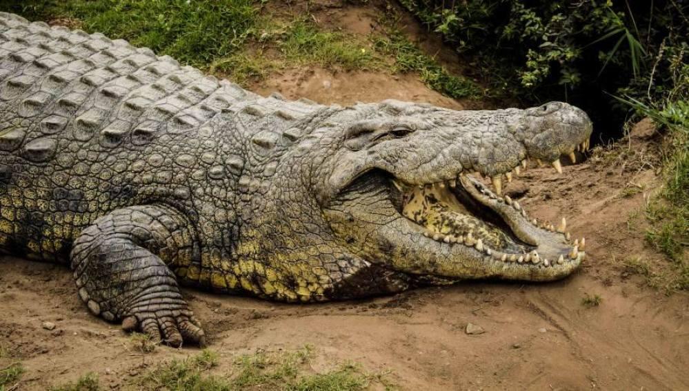 El cocodrilo Henry, el más longevo del mundo