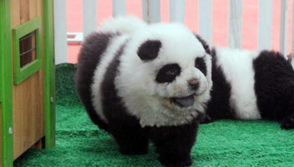 Perro chow chow con apariencia de oso panda