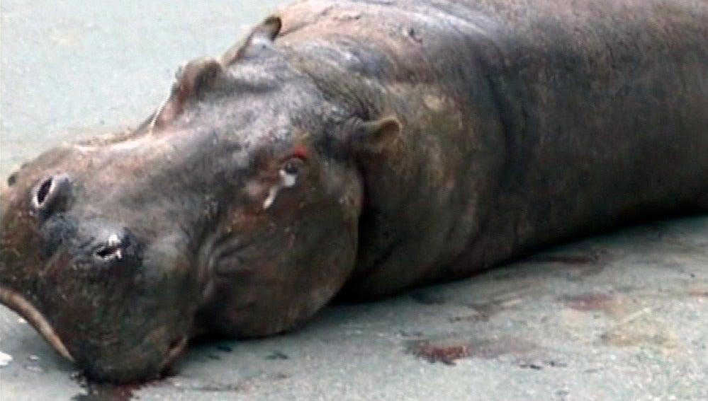 Un hipopótamo, con lágrimas en los ojos