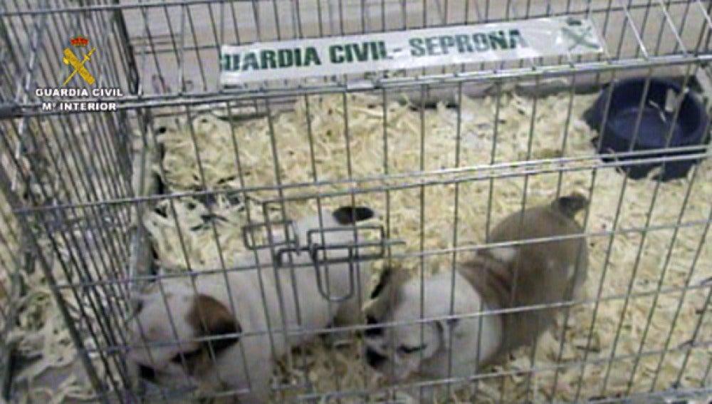 La Guardia Civil interviene 404 cachorros