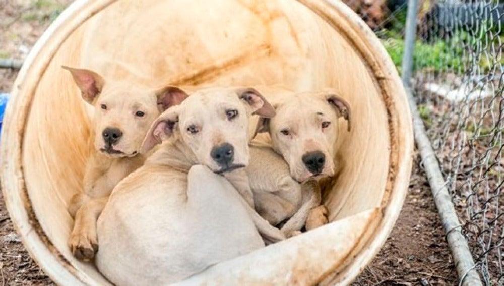 Tres de los dogos rescatados