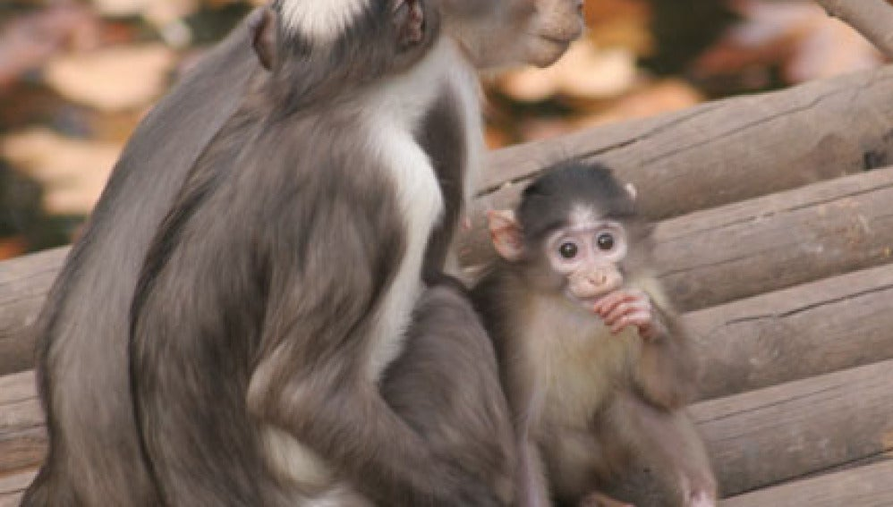 Cría de mono mangabey