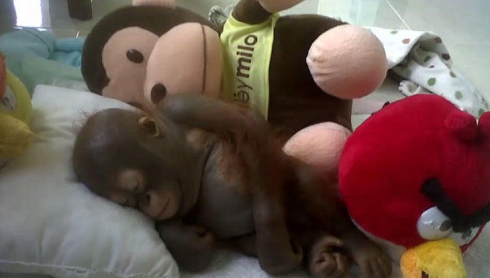 El orangután Budi