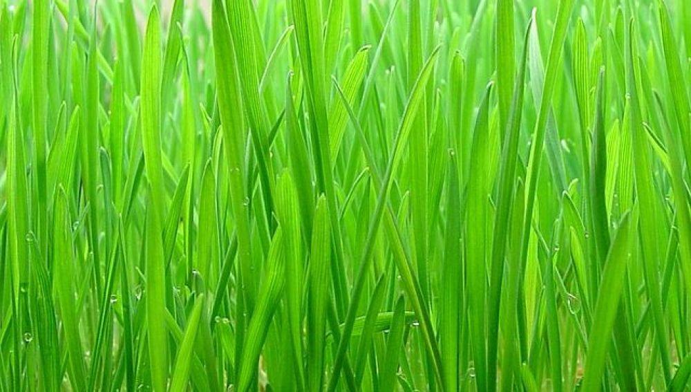 Con todos ustedes, la hierba de trigo.